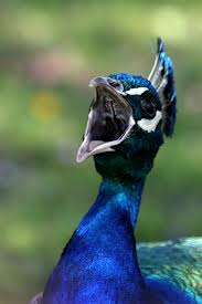 peacock critic2