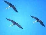 sandhill cranes passing overhead