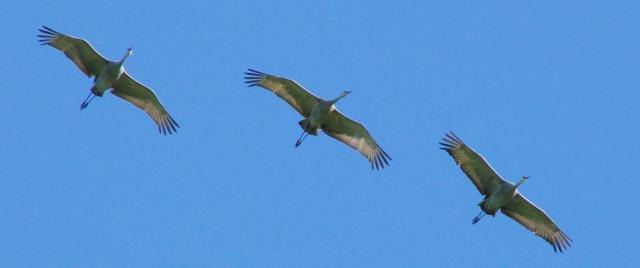 Sandhills cranes in flightxnc