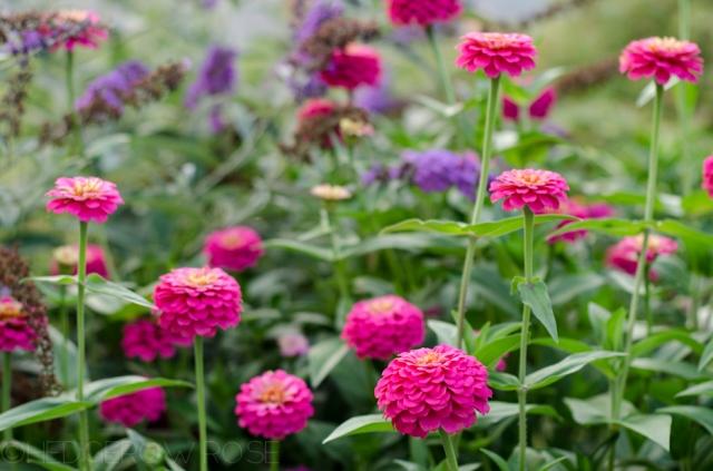 pink-zinnias-9-12-1