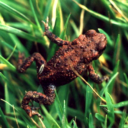moore toad