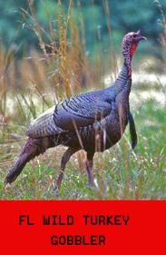 TURKEY  FL WILD TURKEY GOBBLER